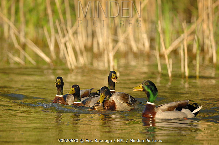 Mallard (Anas platyrhynchos) group vocalising round one couple mating, Marne Department, France  -  Eric Baccega/ npl