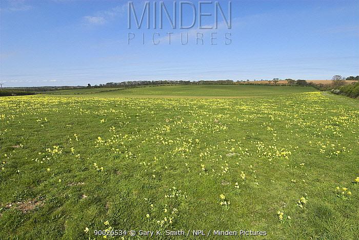 Cowslip Primrose (Primula veris) flowering in mature pasture, Norfolk, United Kingdom  -  Gary K. Smith/ npl