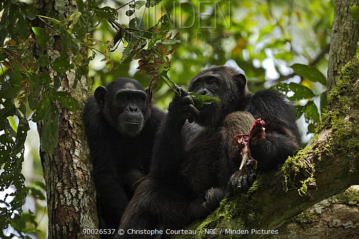 Eastern Chimpanzee (Pan troglodytes schweinfurthii) pair sitting in a tree The alfa, dominant male Mobutu is eating meat, the remains of a Black and White Collobus hunted by the whole group Kibale National Park, Uganda  -  Christophe Courteau/ npl