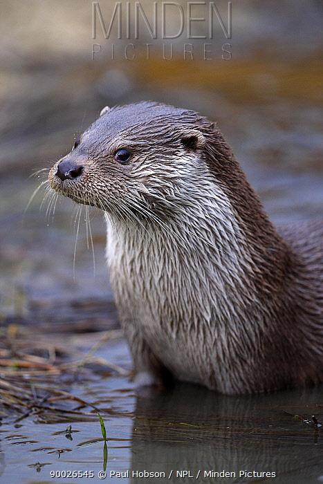 European River Otter (Lutra lutra) adult male portrait, United Kingdom  -  Paul Hobson/ npl