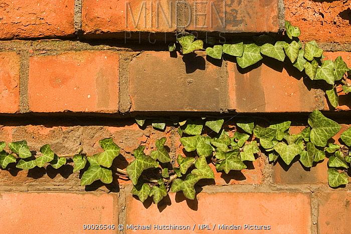 English Ivy (Hedera helix) growing along brick wall, Bristol, United Kingdom  -  Michael Hutchinson/ npl