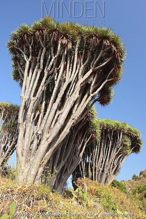 Dragon tree (Dracaena draco) on the Coast of Hiscaguan, La Palma, Canary Islands  -  Juan Manuel Borrero/ npl