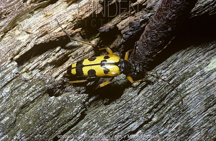 Spotted Longhorn Beetle (Strangalia maculata) laying eggs into the wood in a fence post, United Kingdom  -  Premaphotos/ npl
