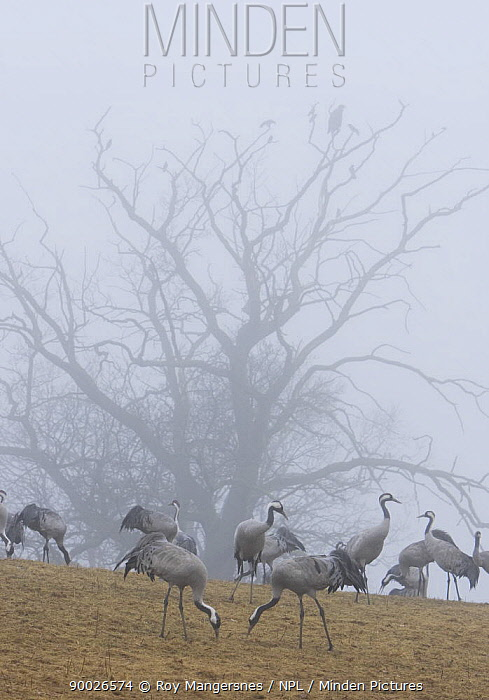 Common Crane (Grus grus) watching feeding Common Cranes (Grus grus) at dawn by Hornborgasj�n, Hornborga Lake, Sweden  -  Roy Mangersnes/ npl