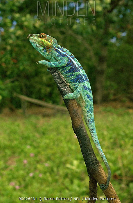 Panther Chameleon (Chamaeleo pardalis), stripy blue sub species, on branch Nosy Tanikely, Madagascar  -  Barrie Britton/ npl