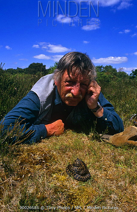 Photographer and herpetologist Tony Phelps face to face with an Adder (Vipera berus) in Dorset, UK  -  Tony Phelps/ npl