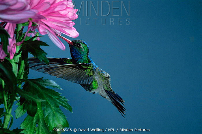 Broad-billed Hummingbird (Cynanthus latirostris) male feeding Madera Canyon, Arizona  -  David Welling/ npl