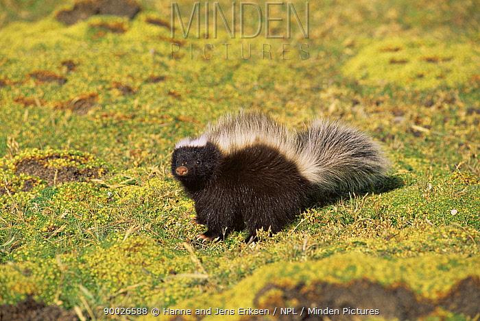 Hog nosed skunk (Conepates humboldtii) Seno Otway, Chile  -  Hanne & Jens Eriksen/ npl