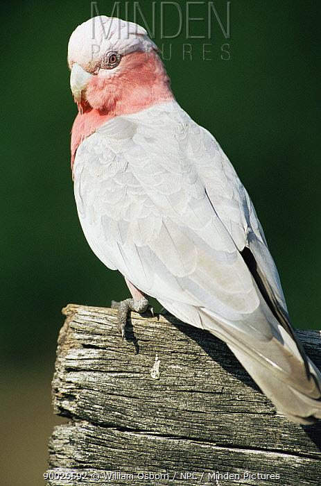 Galah cockatoo, female (pink eye) (Eolophus roseicapilla) Queensland, Australia  -  William Osborn/ npl