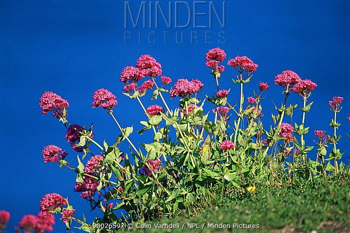 Red valerian plant flowering (Centranthus ruber) UK  -  Colin Varndell/ npl