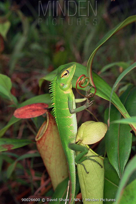 Green Iguana (Iguana iguana) on Pitcher plant (nepenthes sp) Sri Lanka  -  David Shale/ npl