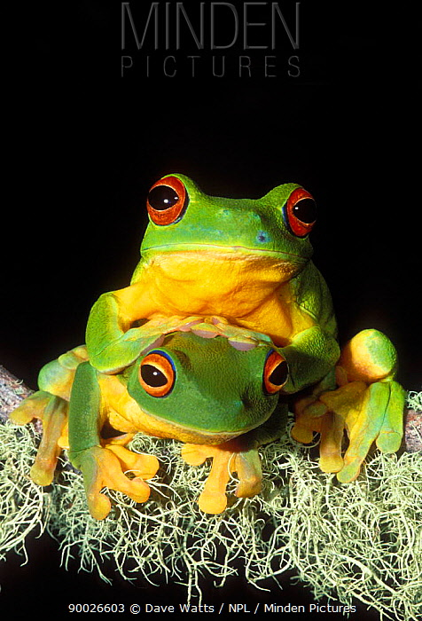 Australian Red-eyed Treefrog (Litoria chloris) pair Queensland, Australia  -  Dave Watts/ npl
