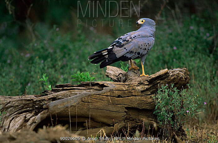 African Harrier Hawk (Polyboroides typus) Manyara National Park, Tanzania  -  Anup Shah/ npl