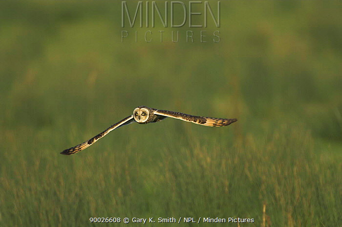 Short-eared Owl (Asio flammeus) in flight over coastal grazing marsh, Norfolk United Kingdom  -  Gary K. Smith/ npl