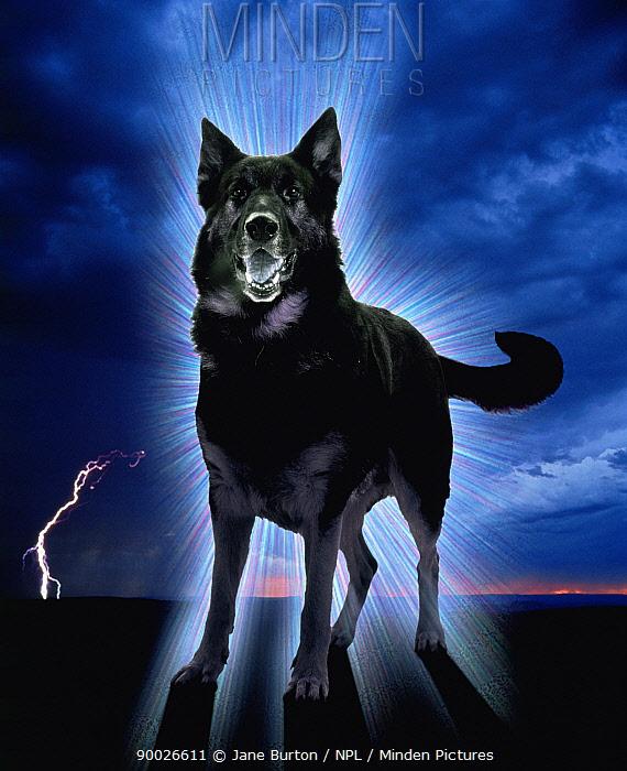 Domestic dog, Ghostly alsation barking (digitally enhanced) UK  -  Jane Burton/ npl
