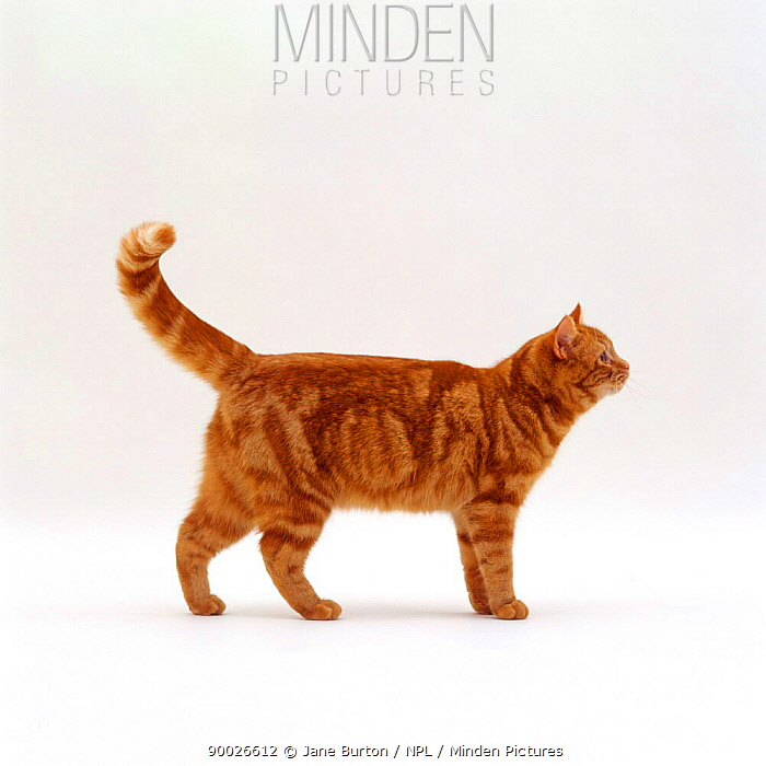 Domestic Cat (Felis catus) Ginger tabby  -  Jane Burton/ npl