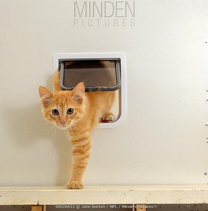 Domestic Cat (Felis catus) Ginger kitten coming through catflap  -  Jane Burton/ npl