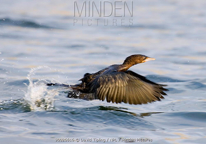 Pygmy Cormorant (Phalacrocorax pygmeus) taking off out of water, Varna, Bulgaria  -  David Tipling/ npl