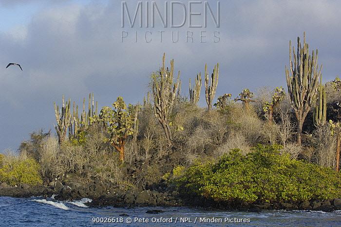 Candelabra cactus (Jasminocerus thouarsii) growing on Lava, Santa Cruz Is, Galapagos 2006  -  Pete Oxford/ npl