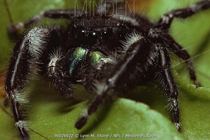 Bold Jumping Spider (Phidippus audax) Illinois  -  Lynn M. Stone/ npl