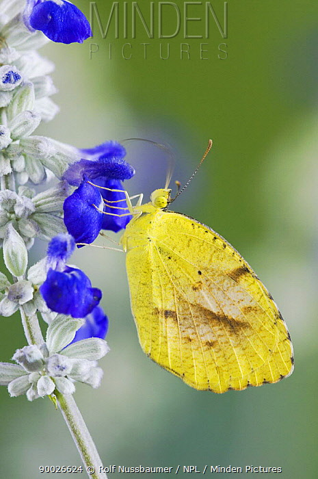 Sleepy Orange (Eurema nicippe) on Mealy sage flower (Salvia farinacea) Hill Country, Texas, USA  -  Rolf Nussbaumer/ npl