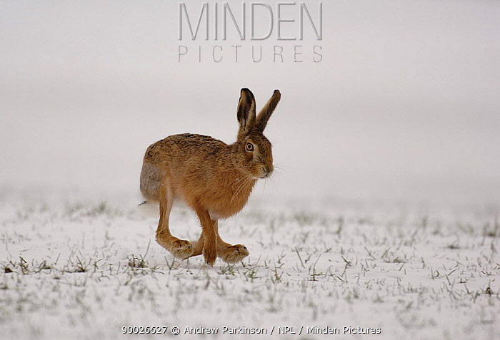European Hare (Lepus europaeus) running over a snow covered field, Derbyshire, United Kingdom  -  Andrew Parkinson/ npl
