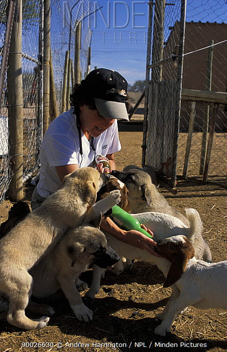 Anatolian Shepherd (Canis familiaris) puppy bonding with Goats being fed by care worker, Namibia  -  Andrew Harrington/ npl