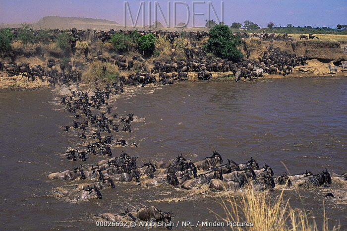 Blue Wildebeest (Connochaetes taurinus) crossing the Mara River on migration, Masai Mara, Kenya  -  Anup Shah/ npl