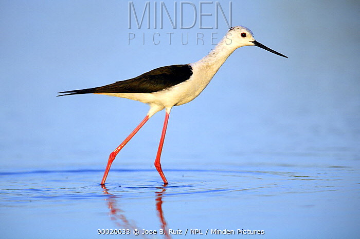 Black-winged Stilt (Himantopus himantopus) wading in water, Donana National Park, Sevilla, Spain  -  Jose B. Ruiz/ npl