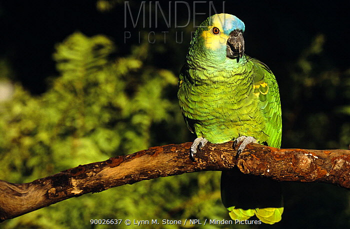 Blue-fronted Parrot (Amazona aestiva) on branch,  -  Lynn M. Stone/ npl