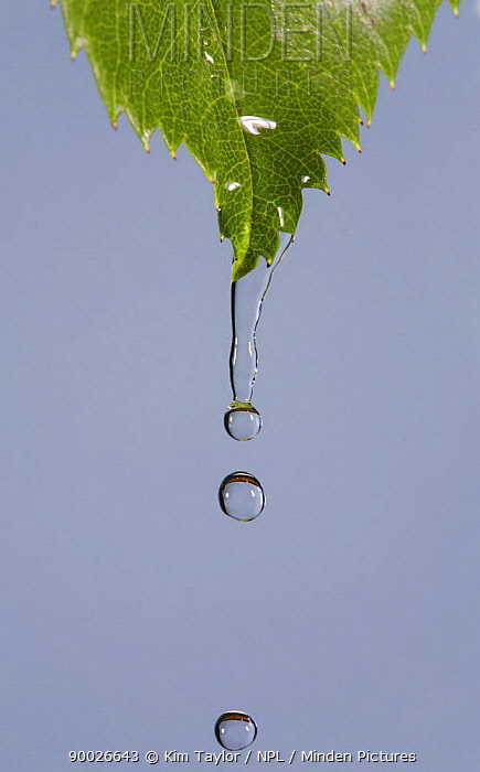 Water dripping from a Rose leaf, UK  -  Kim Taylor/ npl