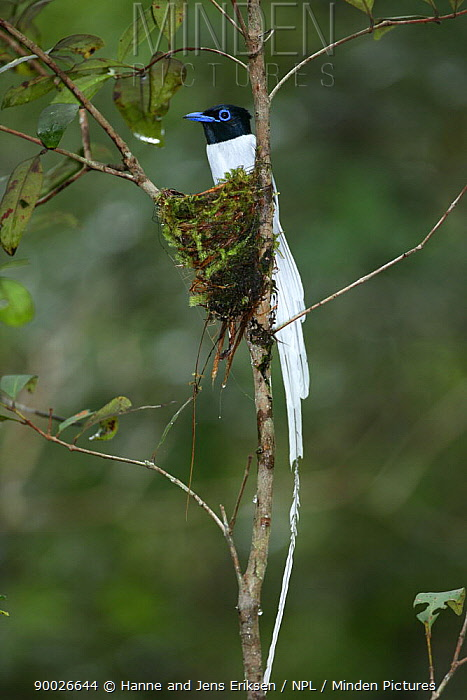 Asian Paradise Flycatcher (Terpsiphone paradisi) male at nest, Tanjung Puting National Park, Kalimantan, Borneo, Indonesia  -  Hanne & Jens Eriksen/ npl