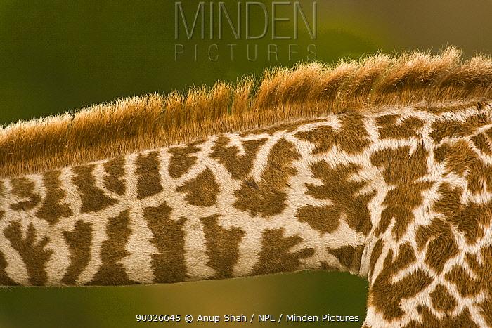 Close up of skin pattern on neck of Masai giraffe (Giraffa camelopardalis tippelskirchi) Masai Mara GR, Kenya  -  Anup Shah/ npl