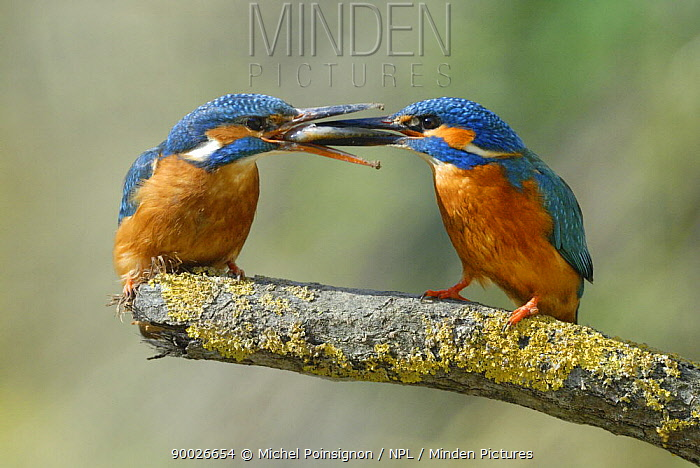 Common Kingfisher (Alcedo atthis) courtship behaviour with male offering female a fish, Lorraine, France  -  Michel Poinsignon/ npl