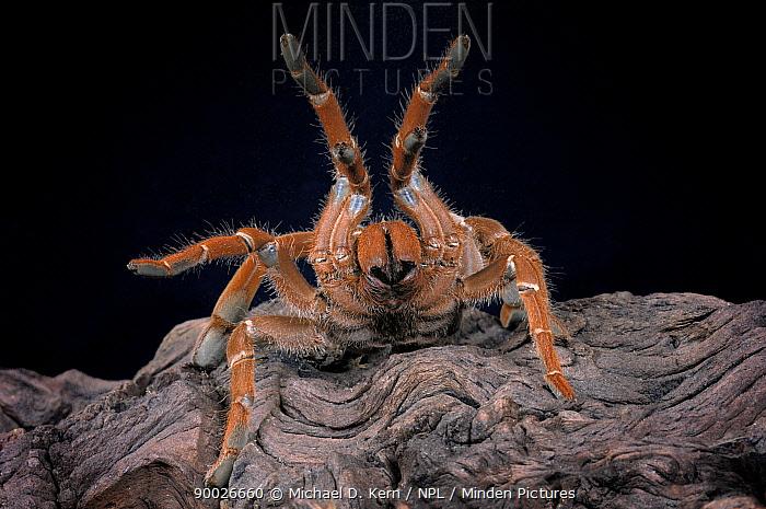 King Baboon Spider (Citharischius crawshayi) legs raised in defence posture, captive, from Kenya  -  Michael D. Kern/ npl