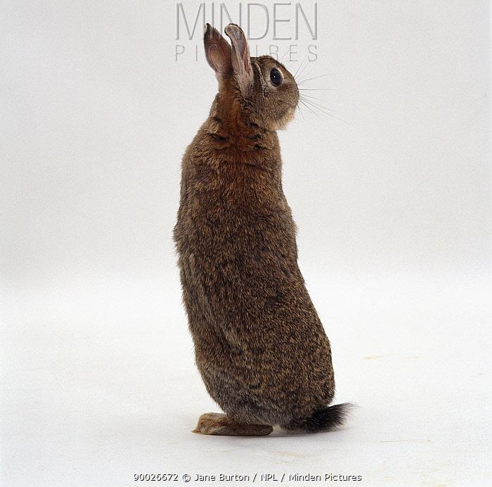 Rear view of Agouti dwarf female rabbit sitting up on her hind legs to look around  -  Jane Burton/ npl