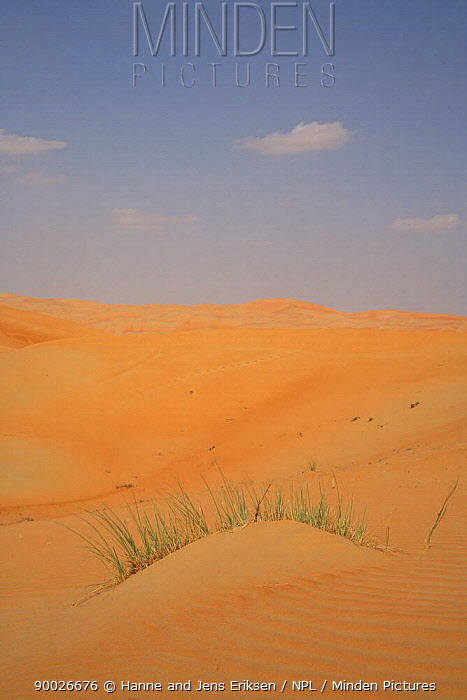 Grass on mound in sand dunes, Liwa, UAE  -  Hanne & Jens Eriksen/ npl