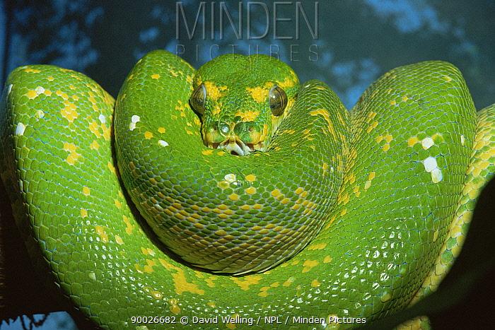 Green tree python (Chondopython viridis) coiled on tree, captive  -  David Welling/ npl