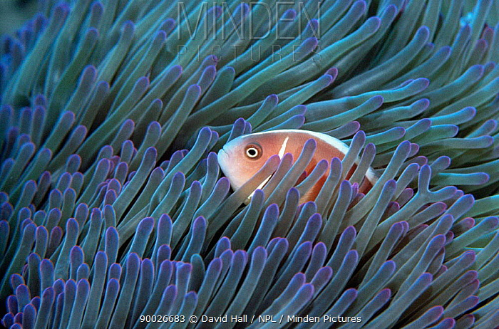 Pink Anemonefish (Amphiprion perideraion) in tentacles of Magnificent anemone Philippines  -  David Hall/ npl