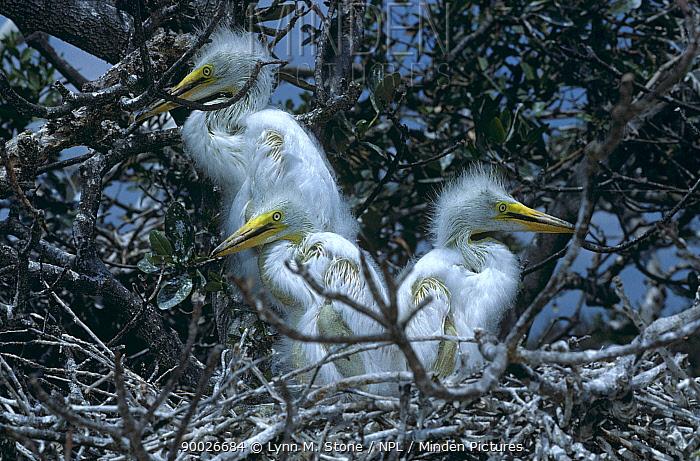 Great Egret (Casmerodius albus) chicks in nest, Florida  -  Lynn M. Stone/ npl