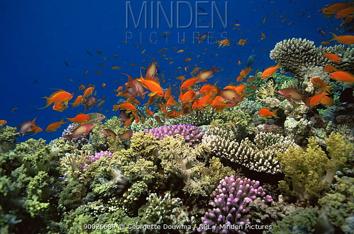 Coral reef landscape with Scalefin anthias (Anthias squamipinnis) Red Sea, Egypt  -  Georgette Douwma/ npl