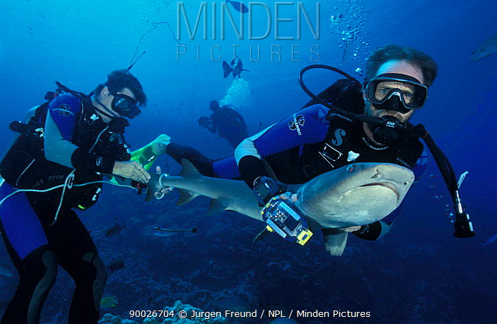 White-tip Reef Shark (Triaenodon obesus) researchers attach temperature and depth recorder tag on tail Osprey Reef, Coral Sea, Australia  -  Jurgen Freund/ npl