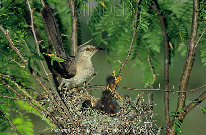 Northern mockingbird (Mimus polyglottus) feeding young at nest, Welder Wildlife Refuge, Sinton, Texas, USA  -  Rolf Nussbaumer/ npl