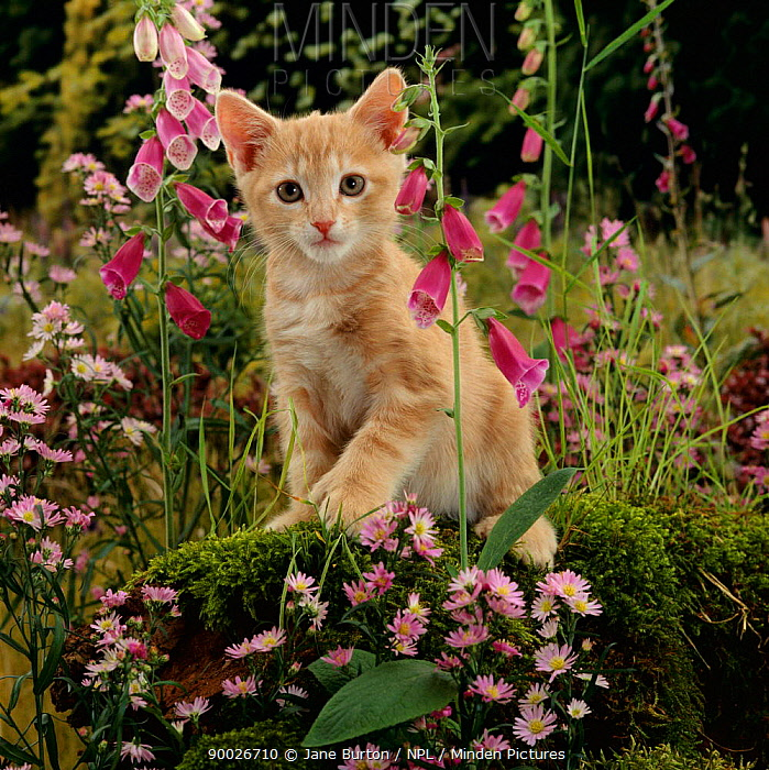 Domestic Cat (Felis catus) Cream burmese-cross cat 'Toffee' among Foxgloves  -  Jane Burton/ npl