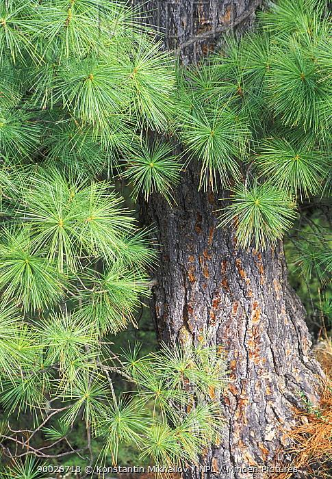 Bhutan Pine (Pinus wallichiana) Coniferous forests of Himalaya, Nepal, Annapurna trek  -  Konstantin Mikhailov/ npl