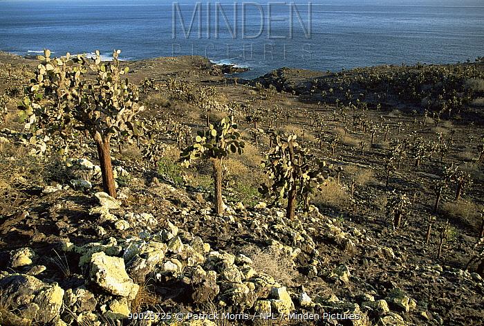 Prickly pear (Opuntia sp) cacti growing on volcanic hillside, Santa Fe Is, Galapagos  -  Patrick Morris/ npl