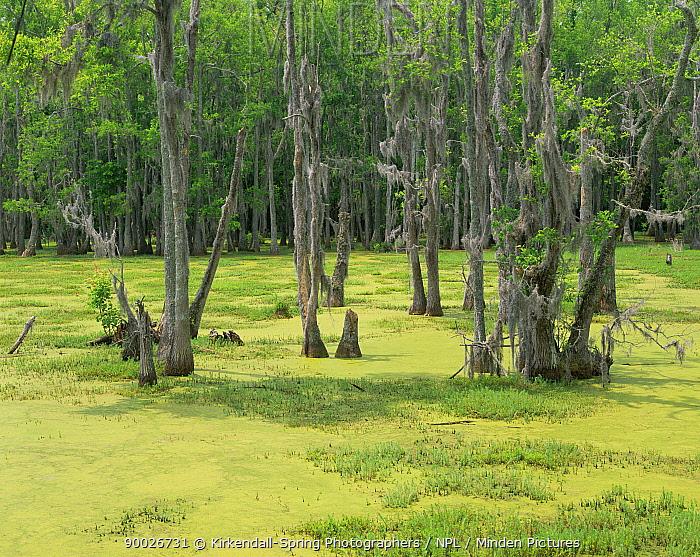 Cypress (Cupressaceae) and Tupelo Gum Trees (Nyssa aquatica) growing in the Audubon Swamp Gardens, Magnolia Plantation Gardens, South Carolina, USA  -  Kirkendall-spring/ npl