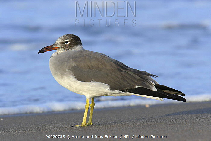 White eyed gull (Larus leucophthalmus) on beach, Hodeidah, Yemen  -  Hanne & Jens Eriksen/ npl
