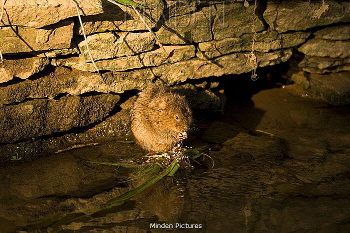 Water Vole (Arvicola terrestris) feeding on rock in water Oxfordshire, England, United Kingdom  -  Andrew Harrington/ npl