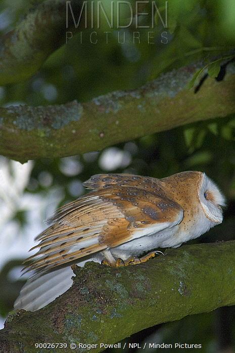 Barn Owl (Tyto alba) preparing to launch into flight, Northumberland, United Kingdom  -  Roger Powell/ npl